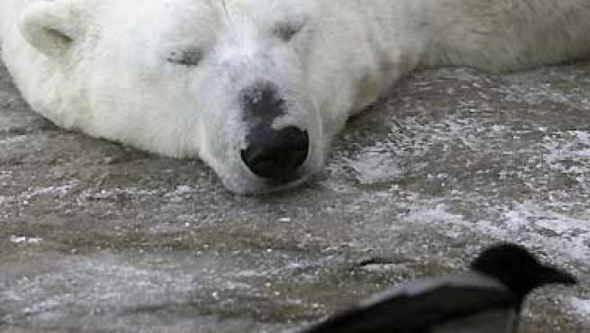 Un oso polar en el zoo de Moscú.