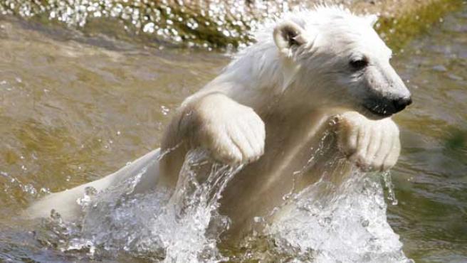 Knut en la 'piscina' de su casa. (Foto: AP)