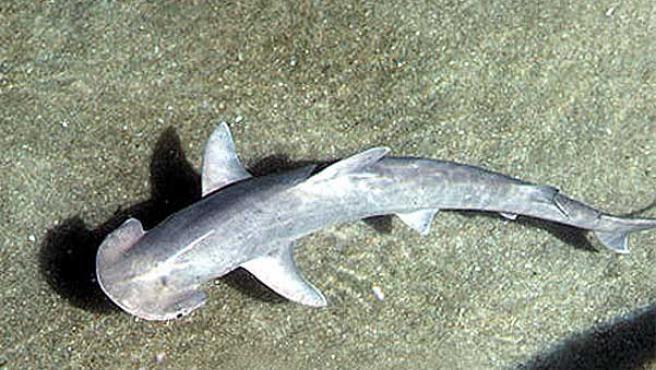 El Tiburón Martillo No Necesita Del Macho Para Reproducirse