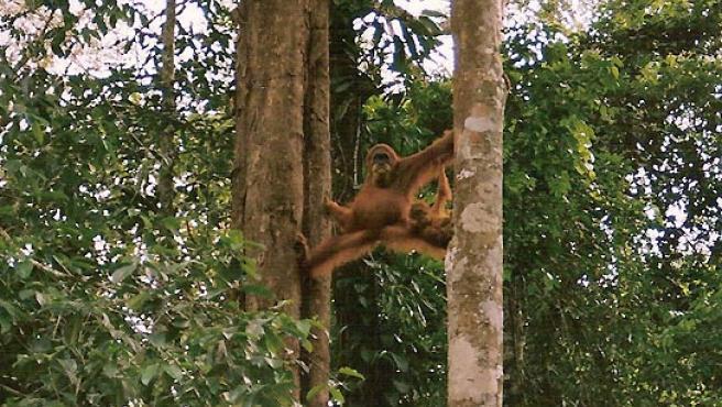 Los primates ancestros del hombre moderno comenzaron a caminar en los árboles antes de hacerlo en tierra. (EFE).