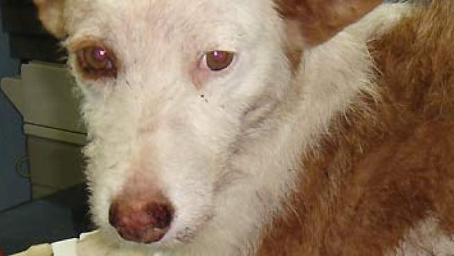 Los veterinarios luchan por salvar la vida de Arcoiris. (ANAA).
