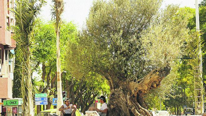 Imagen del olivo cuando llegó a Murcia en mayo del año pasado y estado que presenta en la actualidad (Lara Roda).