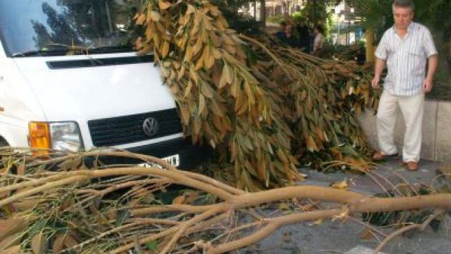 La rama del ficus, en el lugar donde cayó en la plaza Portal de Elche de Alicante.