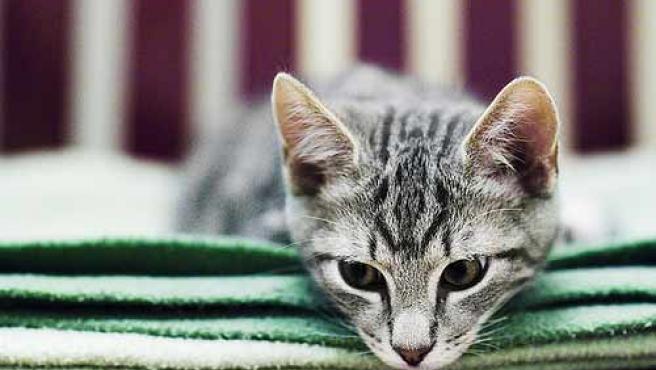 Un 15% de la población es alérgica a los gatos. (Flickr: Tellfoto)