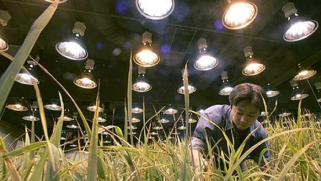Cultivo bajo tierra. Arrozal sembrado en las instalaciones subterráneas de Pasona O2 en Tokio.