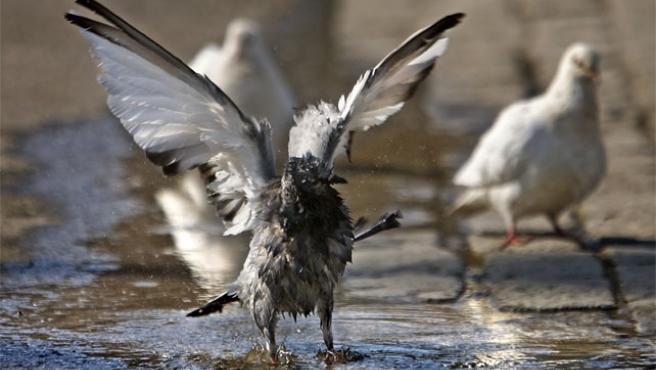 Unas palomas se refrescan en un charco para combatir las altísimas temperaturas (Foto: Efe)