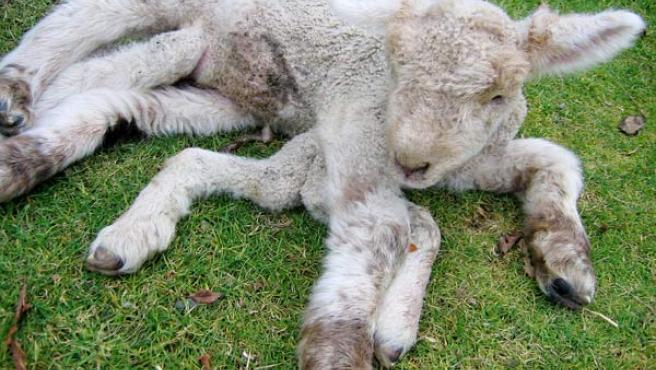 El animal ha nacido en una granja del centro del país (REUTERS)