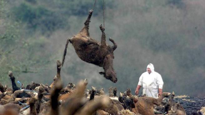 La enfermedad de la fiebre aftosa se pretende controlar mediante la incineración del ganado infectado.