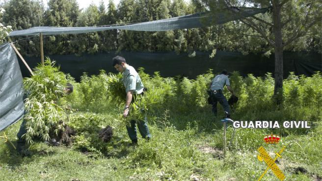 Agentes de la Guardia Civil inspeccionan la plantación a gran escala.