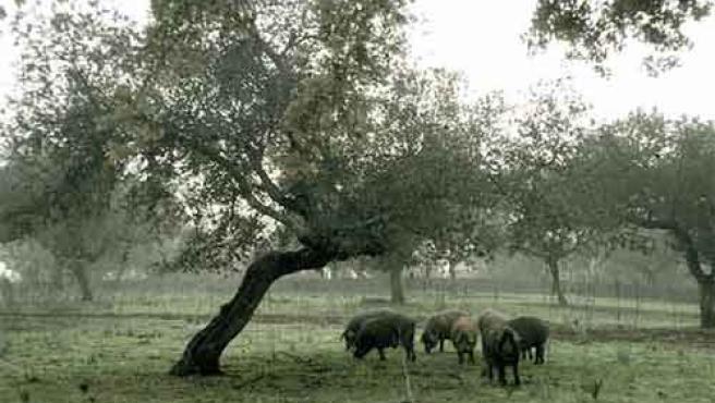Crianza del cerdo ibérico.