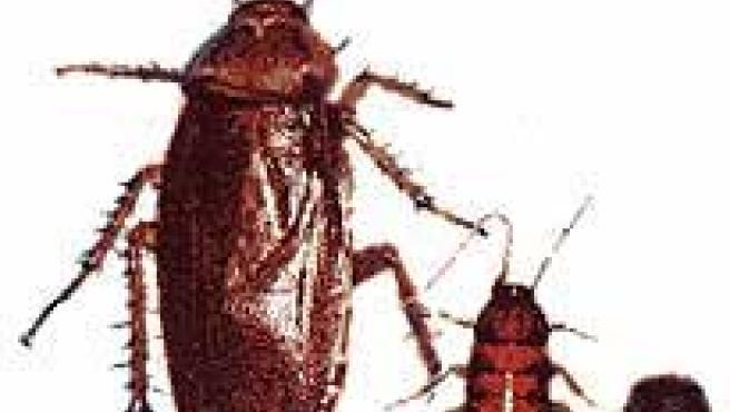 Ejemplar de cucaracha americana.