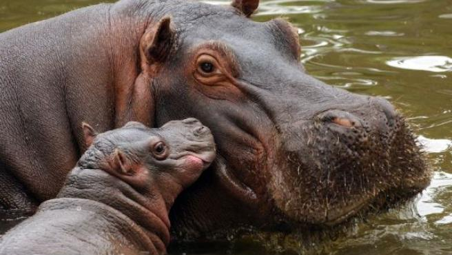 Una hipopótamo cuida a su cria de un mes de edad, nacida en cautividad, en una imagen de archivo.