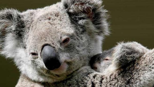 Amor de madre. Un koala protege a su cría en el centro 'WildlifeWorld', cerca de la ciudad australiana de Sydney.