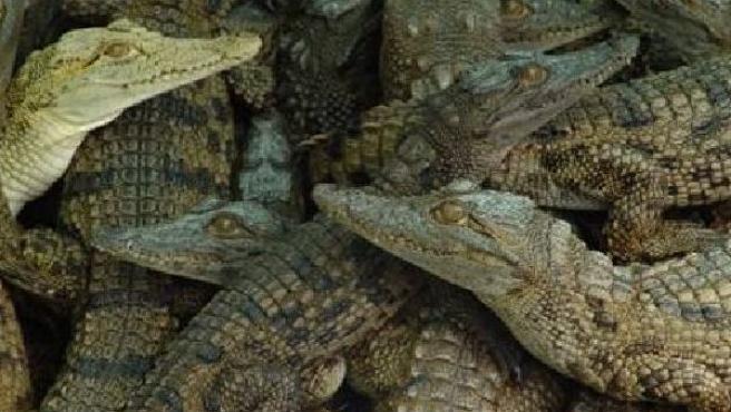 Un grupo de cocodrilos en la granja Kariba, entre ellos uno albino.