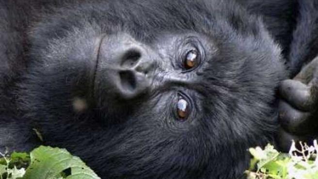Un gorila de montaña de la familia Kabirizi en el Parque Nacional de Virunga, en Congo (REUTERS / WildlifeDirect/Handout)