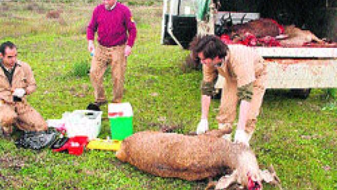 Muchos de los jabalíes, gamos y ciervos de Doñana sufren tuberculosis bovina. (EFE)