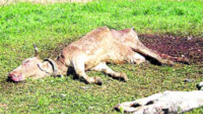 En lo que llevamos de año, buitres y cuervos han atacado a 24 piezas de ganado (M. Riera / ACN).