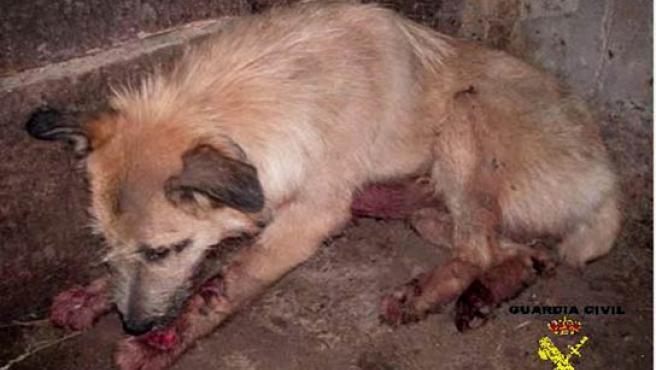 Estado en el que quedó la perra tras el presunto maltrato.