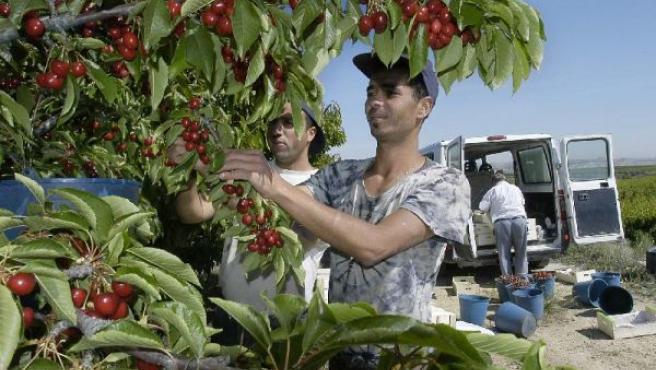 Temporeros trabajando en la recogida de fruta en una explotación agrícola de Seros, imagen de archivo.