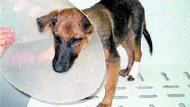 Éste es el estado en el que se encontraba el cachorro maltratado, tras ser atendido.