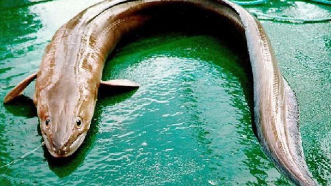 Foto de archivo: este pez anguiliforme posee una fuerte mandibula y buena dentadura.