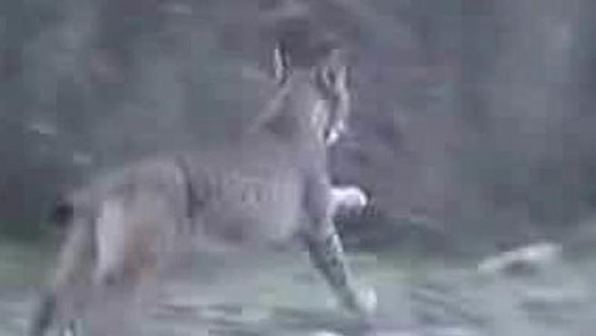 Imagen del video que muestra a un ejemplar de lince en La Mancha.