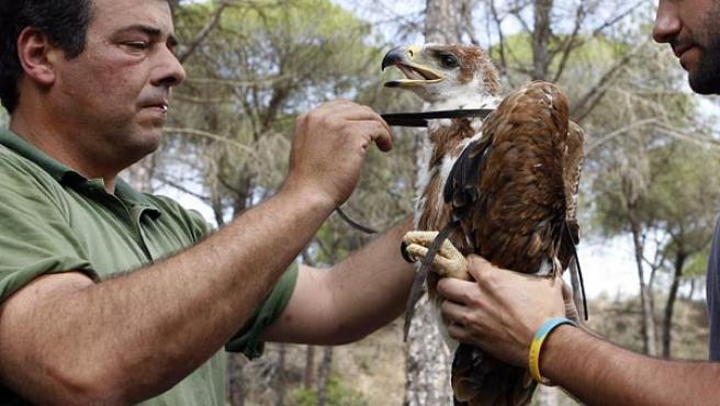 Cría de Águila Imperial.