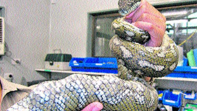 el reptil antes de ser operado con éxito y su radiografía. (EFE)