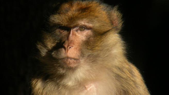 Ejemplar de macaco.