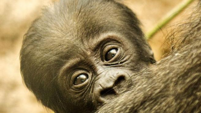 La cría de gorila es hija de Malabo, un macho de 16 años y de Gorka, una hembra de 12. (ZOO AQUARIUM DE MADRID)