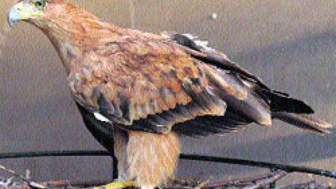 Un macho de águila imperial criado en cautividad. CMA)