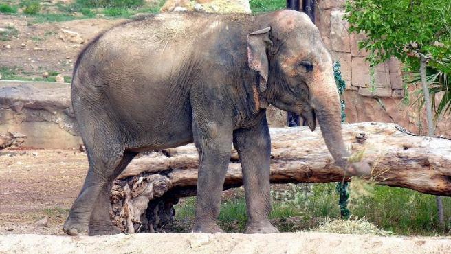 Petita, la elefanta del parque Terra Natura de Benidorm rechazada por su manada, ya tiene novio.