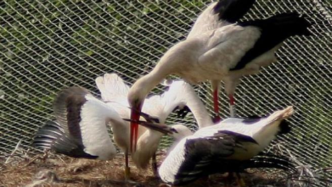 Uzelai, con sus dos pollinos, en la reserva de Urdaibai.