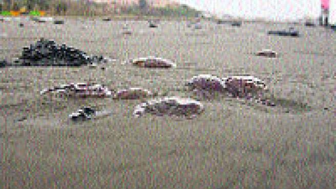 Playa algecireña de La Concha amaneció llena de medusas. (EFE)