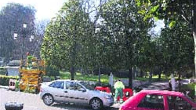 Los operarios del Ayuntamiento de Oviedo ya han empezado a podar los magnolios situados en el Paseo de los Álamos, en el parque San Francisco.(R.A.)