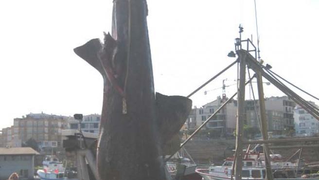Un enorme tiburón peregrino capturado por unos pescadores en la costa catalana. (X. Solé/CRAM)