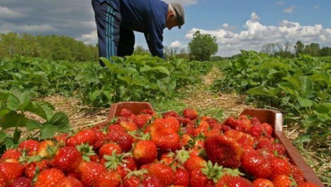 El 96% de la producción nacional de fresas corresponde a la andaluza, y de ello, el 97% procede de Huelva. (ARCHIVO)