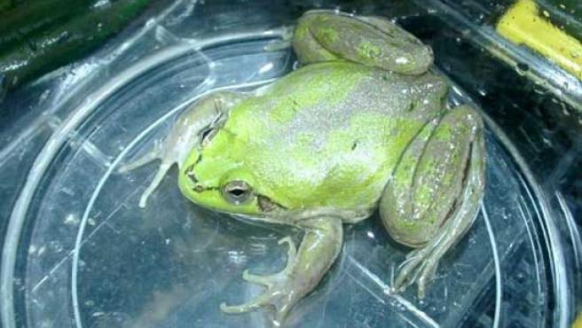 Un ejemplar de rana paradójica. (Takeshi Ebinuma / INTERONE.JP)