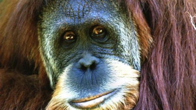 Imagen de archivo de un orangután de Sumatra. (WIKIPEDIA )