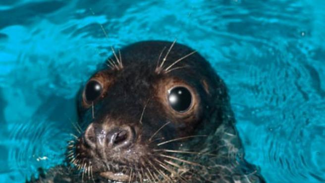 La foca Humphrey se recupera en la zona de cuarentena del Loro Parque.