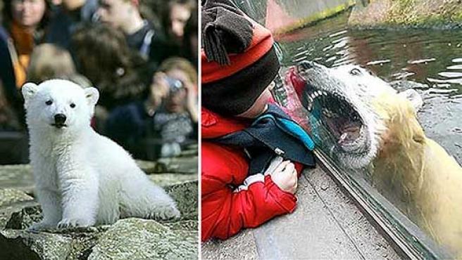 Knut, cuando era un osezno, y hace unos días en el zoo de Berlín tras una mampara de cristal. (Daily Mail)