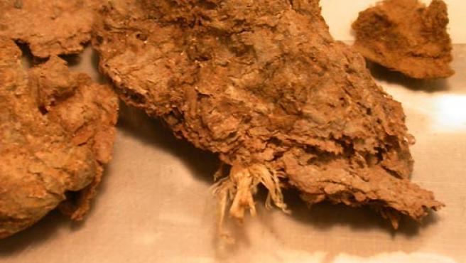 Imagen de las heces fosilizadas que han permitido descubrir que los hombres vivían en América hace 14.300 años. (Science).