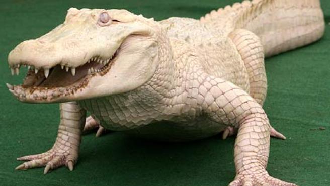'Whitey', el cocodrilo blanco. (DAILY MAIL)