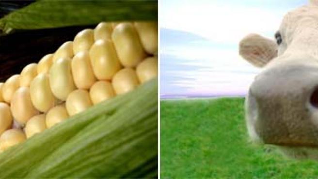 Maíz y vaca se unen en busca del mejor biocombustible. (ARCHIVO)
