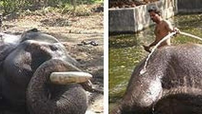 Un mahout lava el elefante que conduce después de un duro día de trabajo.