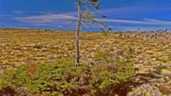 El árbol más antiguo del mundo (AGENCIAS).