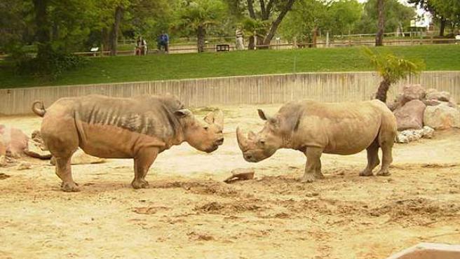 Marina, la rinoceronte más grande de la foto, está embarazada gracias a la inseminación artificial. (Foto: Zoo de Madrid)