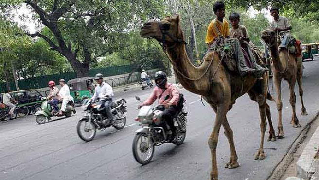 Unos camellos domésticos circulan por una calle de Nueva Delhi. (ARCHIVO)