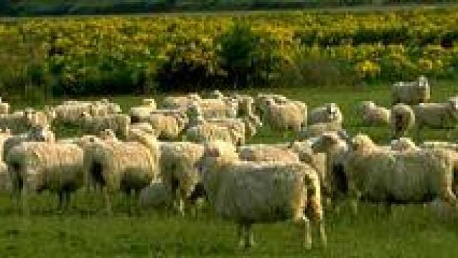 Está prohibido que las ovejas pasten en el Campo Militar de Chinchilla