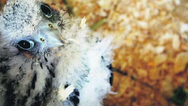 Pollo de halcón peregrino (ARCHIVO).